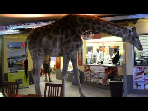 Giraffe surprises south african diners by strolling into for Food bar giraffe