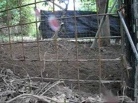 Six wild boars in a trap Video