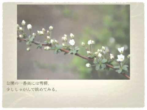 鷺湯公園・春4 雪柳編