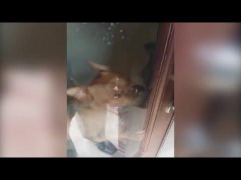 ドアロックを外す賢い犬