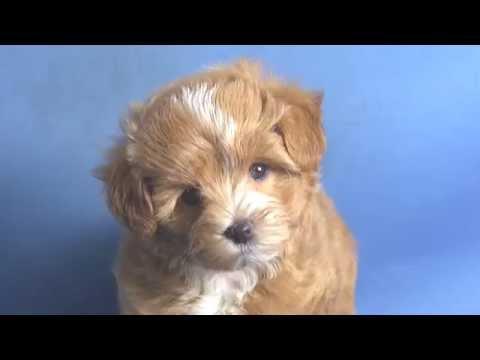 【ペットノート】 マルプー(マルチーズ×トイ・プードルのミックス犬) 女の子 16051201