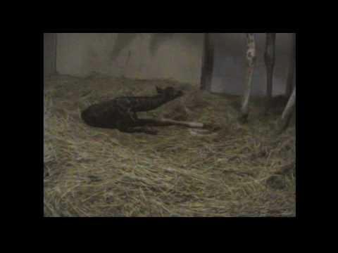 キリンの出産