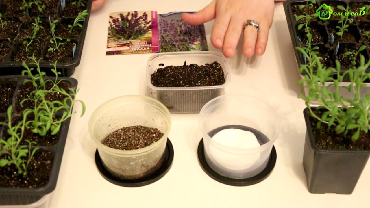 Семена лаванды в домашних условиях 196