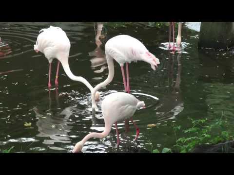 旭山動物園 - フラミンゴ