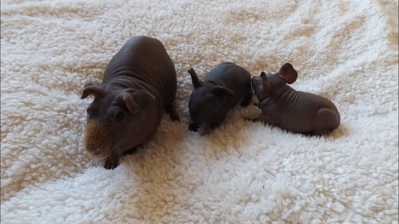 Hairless Guinea Pig Amp Cute Babies Youtube