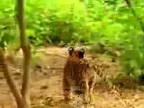 обезьяна и тигры