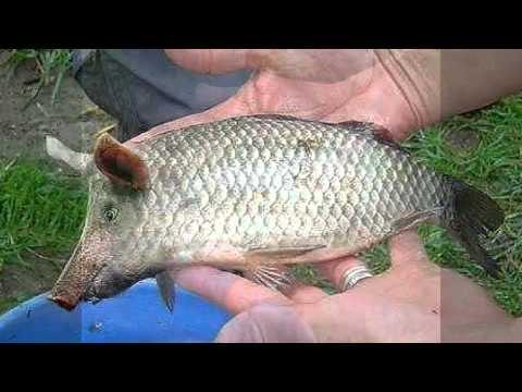 Рыба с головой свиньи