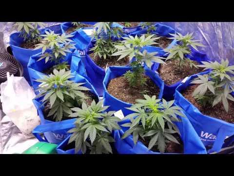 Growing cannabis in Walmart bags,miracle grow
