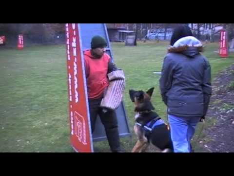 Lexus - GSD 9 months schutzhund (obedience + defence training)