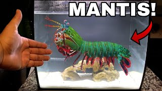 GIANT PET MANTIS SHRIMP For Saltwater AQUARIUM!