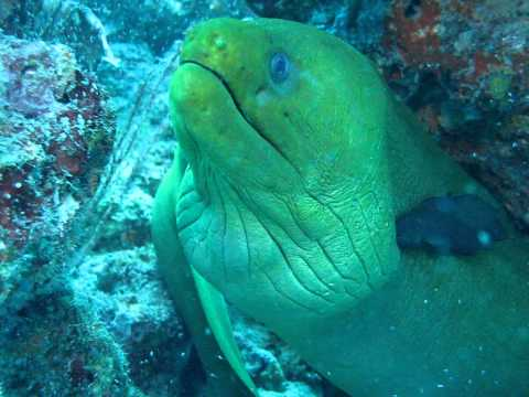 Green Moray Eel Cleaning Station -  West Palm Beach 06/25/2011