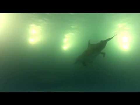 Dolphin giving birth