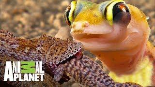 Los reptiles de Namibia | Ríos de África | Animal Planet