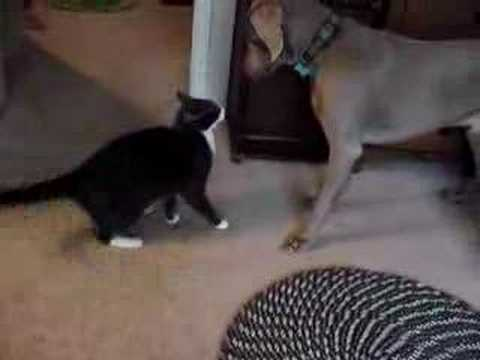 Cat puts Weimaraner in his place Video