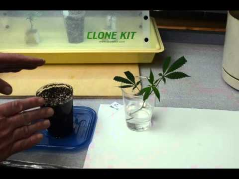 Cloning Cannabis Video Tutorial - Part 3 Planting the Cutting