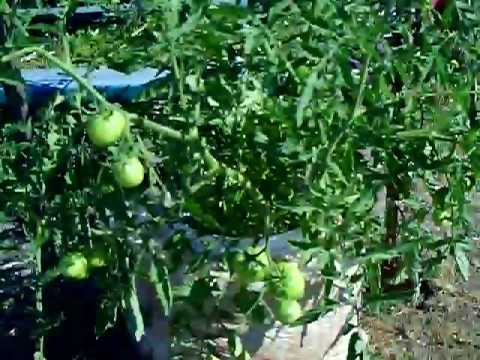 tomato bucket grow update 6/28/09---the thing is huge !