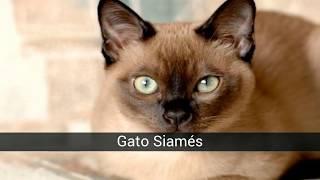 Estas son las 10 razas de gatos más populares en el mundo