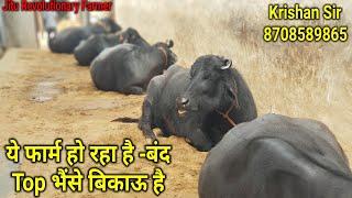 👍This Farm is Closing. Super #Murrah Buffaloes- Available for Sale. Krishan Sir 8708589865.👍