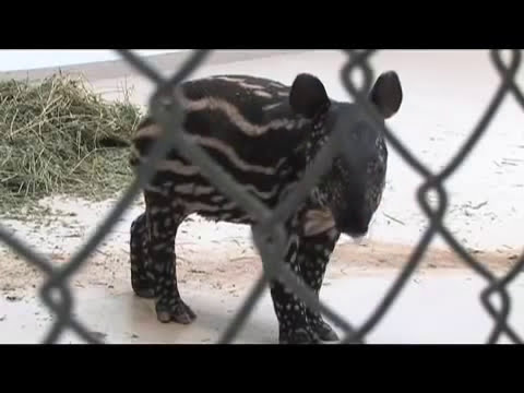 Malayan tapir calf at Denver Zoo, Colorado