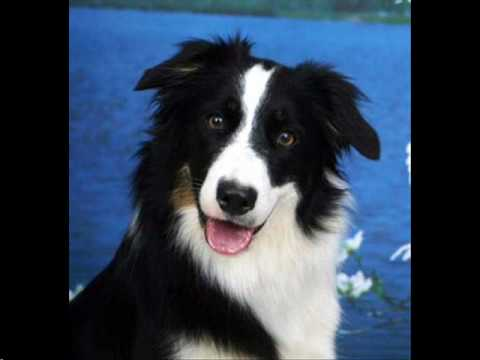 Top 10 Smartest Dog Breeds! (Official Kennel Clubs List)