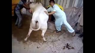Out of Control Angry & Danger White Bull Qurbani | Bakra Eid 2016 Karachi | خطرناک بیل کی قربانی