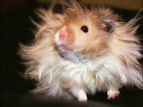 Related Picture With Long Hair Teddy Bear Hamsters Colors