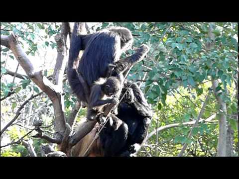 ジェフロイクモザルの赤ちゃん。Baby Black-handed spider monkey.#2