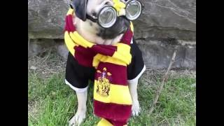 """Harry Pugger"" -Doug in Dogwarts"