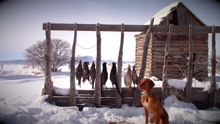 Pheasant Hunting With a Vizsla