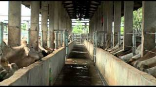 Livestock exports: Take a tour of an Indonesian feedlot