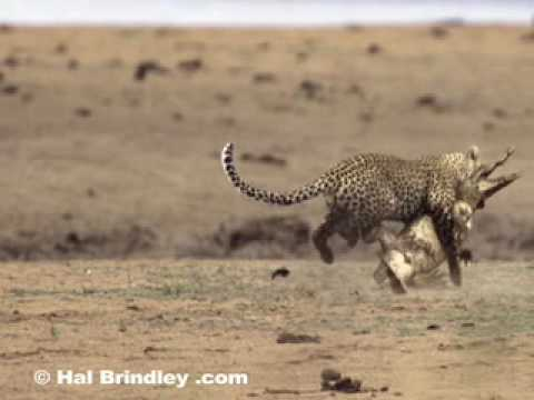 Leopard Attacking and Killing Crocodile by Hal Brindley