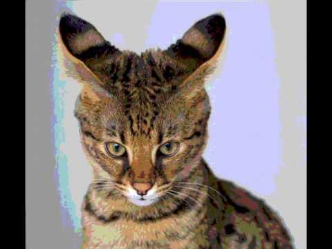 22000 Dollar Cat