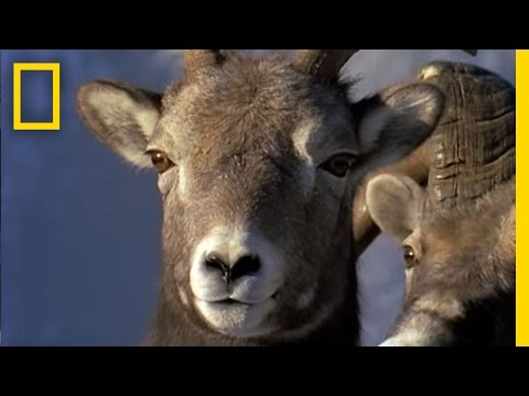Animal Winter Games: Ram Rumble