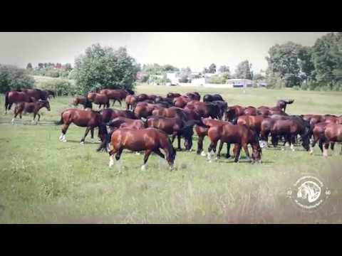 Владимирские тяжеловозы - богатыри Ополья