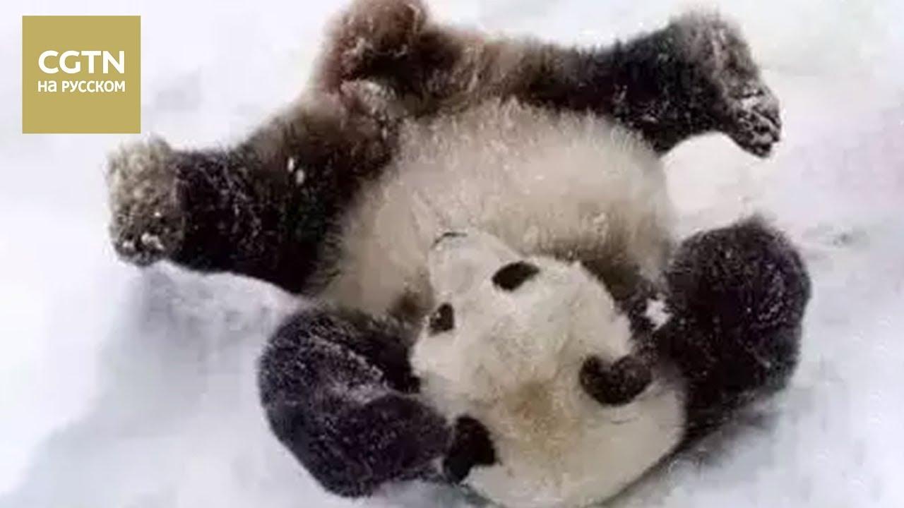 Pandasnowmium Giant pandas enjoy Washington winter