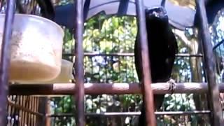 Burung saeran gunting yang makin langka!!!