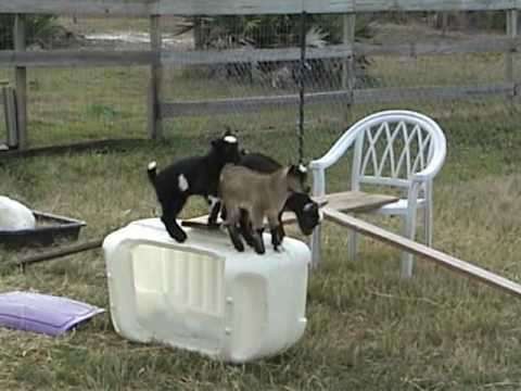 2 week old baby goats playing