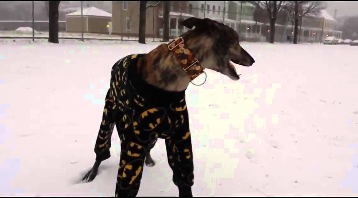 Greyhound in Pajamas Playing in Snow - YouTube