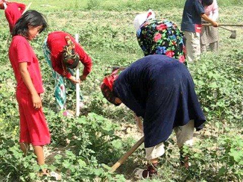 Children Harvest Cotton in Uzbekistan, Spring 2008