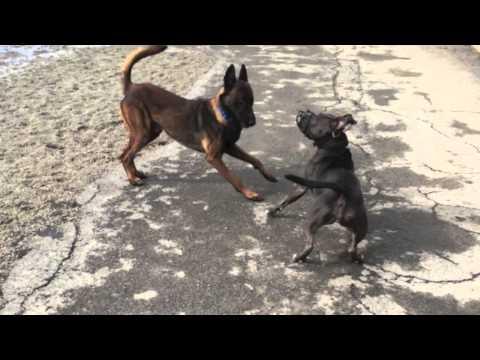 Dog Aggressive Pit Bull, Socialization Progress | Dog Training In Buffalo Ny video