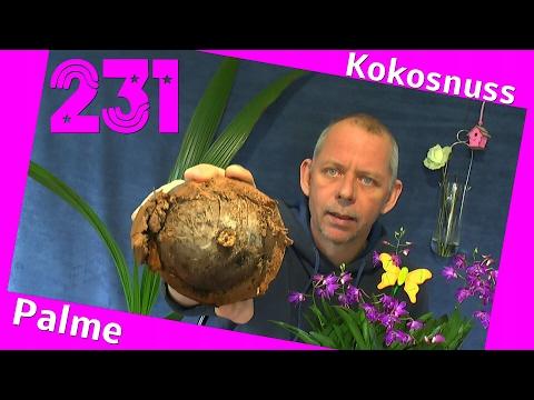 Kokosnuss, die Palme. Kann man die Kokosnuss ab machen von der Palme?