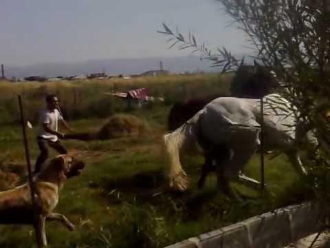 Naxcıvan. Atlarin doyusu (horses fighting)