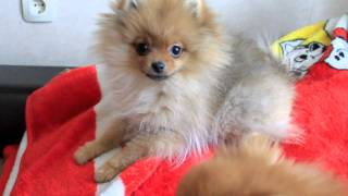 Pomeranian kennel Star-miracle