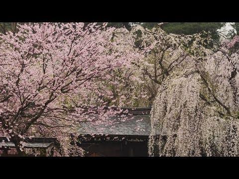 角館 武家屋敷の枝垂れ桜  Weeping cherry in Kakunodate (Shot on RED ONE)