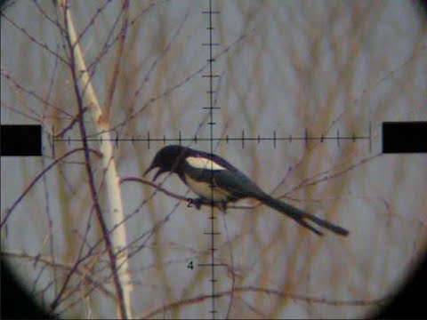 Air Rifle Hunting - Magpies Pest Control 02 /2014