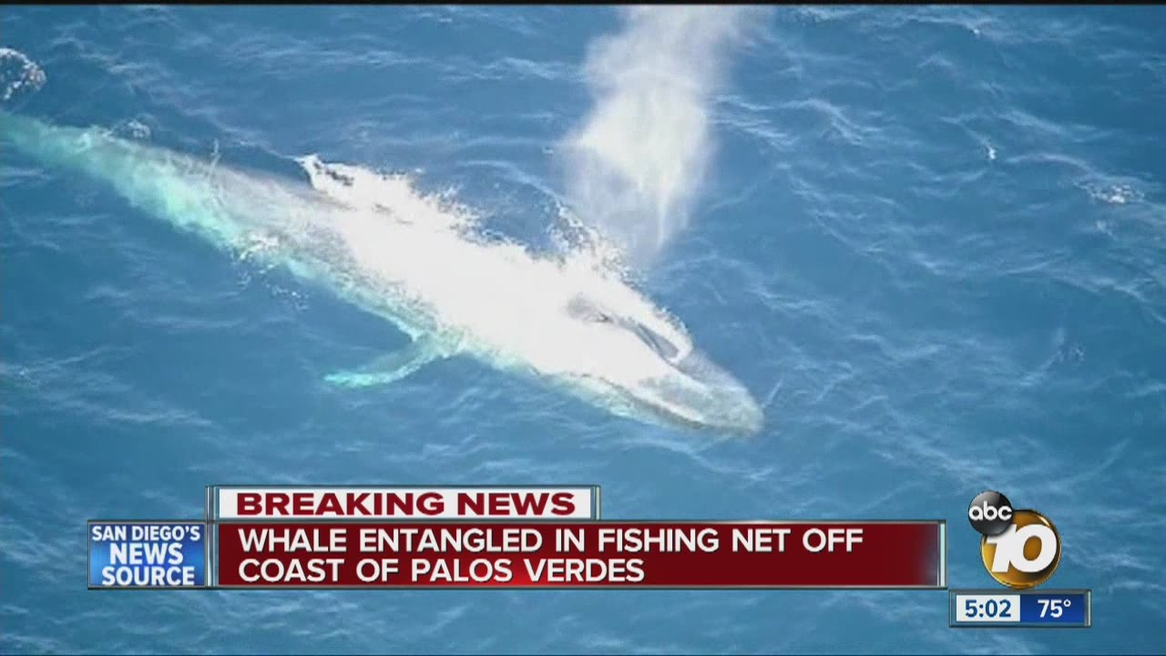 Whale entangled in fishing net off coast of Palos Verdes