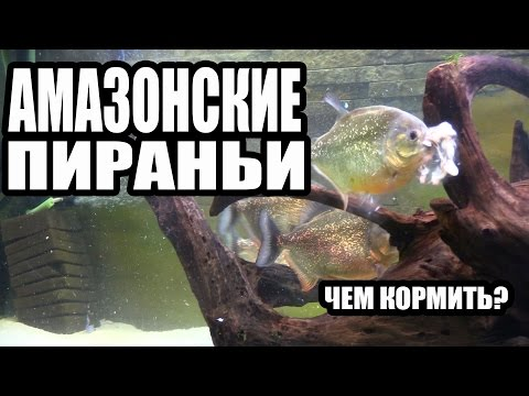 Чем я Кормлю Амазонских Пираний. What I feed the Amazonian Piranhas