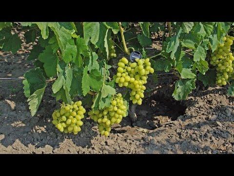 Виноград Продюсер, новый столовый белый винограда