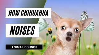 The Animal Sounds: Chihuahua Barking - Sound Effect - Animation