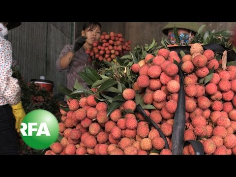 After Spat With China, Vietnam's Lychee Farmers Seek New Markets